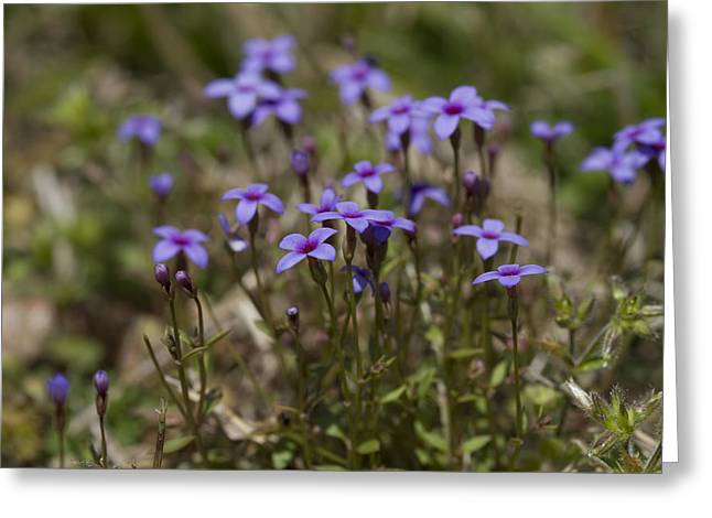 Springtime Tiny Bluet Wildflowers - Houstonia Pusilla Greeting Card by Kathy Clark
