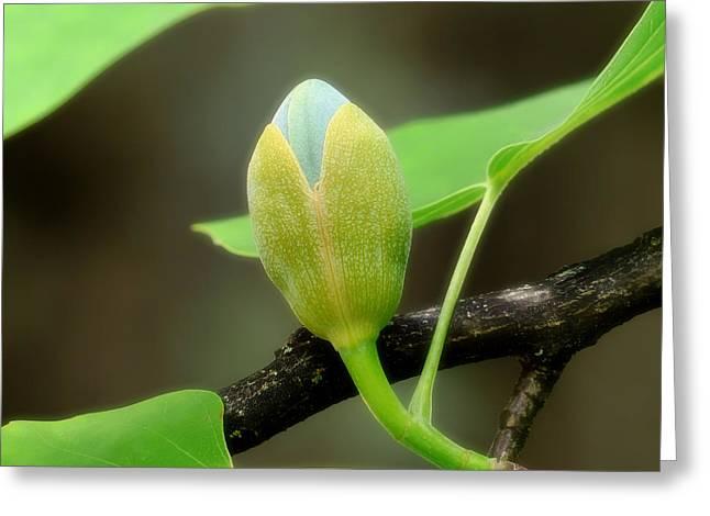 Tulip Bud Greeting Cards - Springtime Tulip Bud Greeting Card by Mountain Dreams