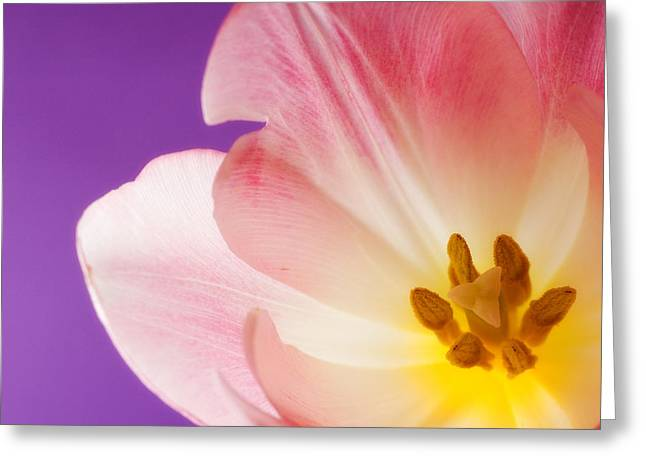 Close Up Floral Greeting Cards - Springtime Tulip Greeting Card by Carol Leigh