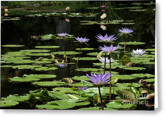 Hawaiian Pond Greeting Cards - Sprinkling of Purple Water Lilies Greeting Card by Sabrina L Ryan