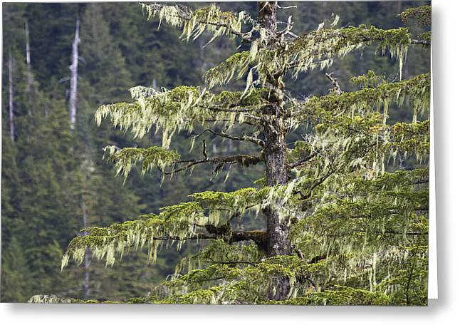 Photos Of Lichen Greeting Cards - Spruce And Bearded Lichen Mitkof Isl Greeting Card by Konrad Wothe