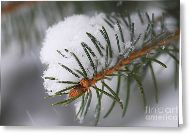 Winter Greeting Cards - Spruce branch with snow Greeting Card by Elena Elisseeva