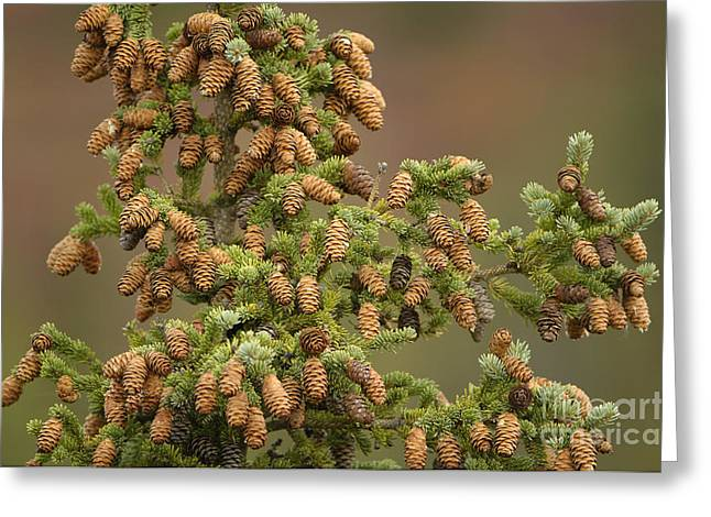 Spruce Cone Greeting Cards - Spruce Cones Greeting Card by John Shaw