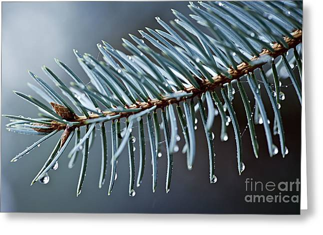 Wet Greeting Cards - Spruce needles with water drops Greeting Card by Elena Elisseeva