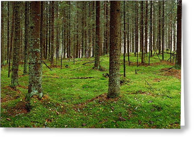 Spruce Trees In A Forest, Joutseno Greeting Card by Panoramic Images