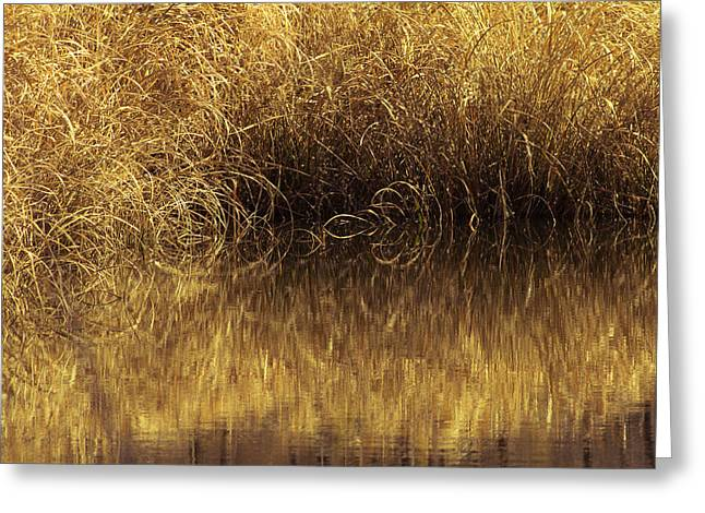Arkansas Greeting Cards - Spun Gold Greeting Card by Annette Hugen