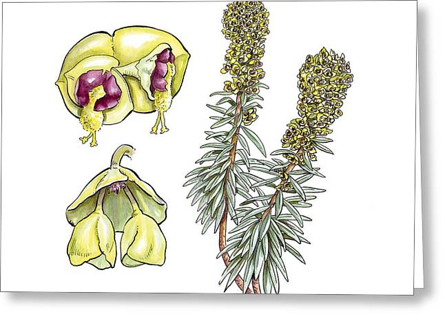 Spurge Greeting Cards - Spurge (Euphorbia characias) flowers Greeting Card by Science Photo Library