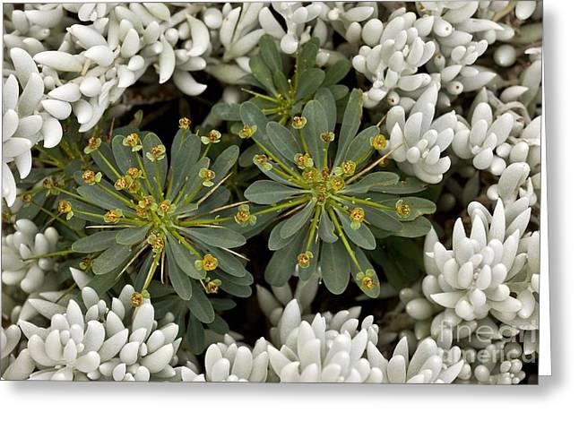 Spurge Greeting Cards - Spurge (euphorbia Multifolia) Greeting Card by Bob Gibbons