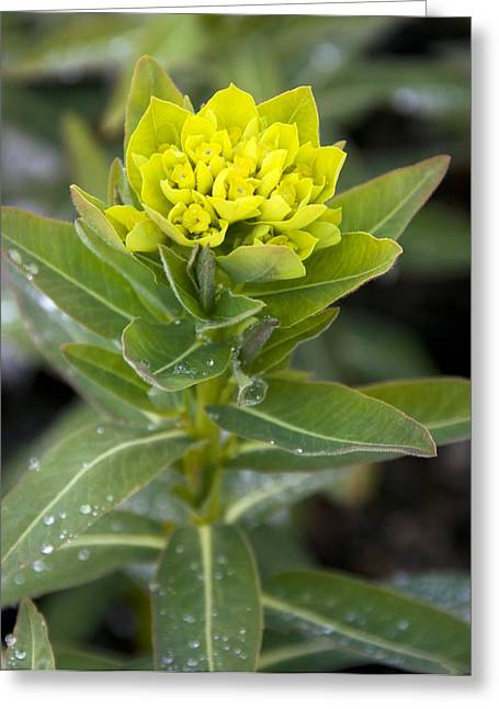 Spurge Greeting Cards - Spurge (Euphorbia palustris) Greeting Card by Science Photo Library