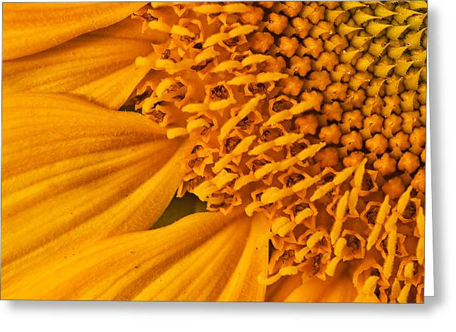 Yellow Sunflower Greeting Cards - Square Sunflower Greeting Card by Mark Kiver