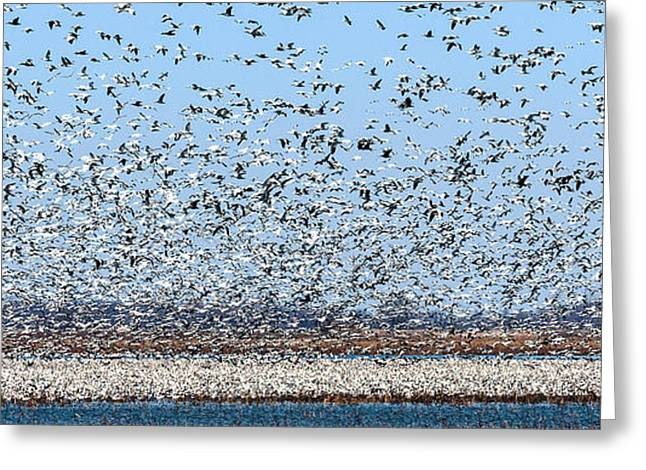 Water Fowl Greeting Cards - Squaw Creek Snow Geese Flight Greeting Card by Edward Peterson