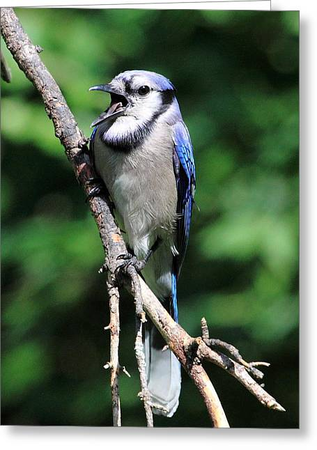 Jaybird Greeting Cards - Squawking Jaybird Greeting Card by PJQandFriends Photography