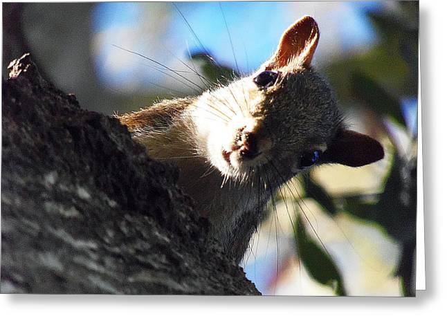Sciurus Carolinensis Greeting Cards - Squirrel 003 Greeting Card by Chris Mercer