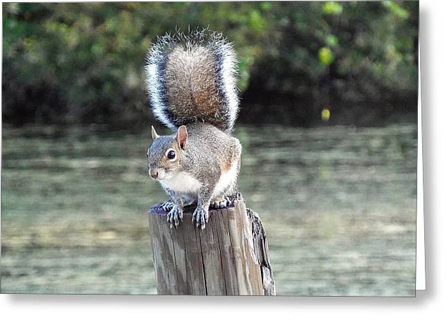 Sciurus Carolinensis Greeting Cards - Squirrel 035 Greeting Card by Chris Mercer