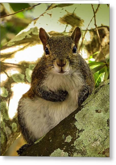 Sciurus Carolinensis Greeting Cards - Squirrel 2					 Greeting Card by Zina Stromberg