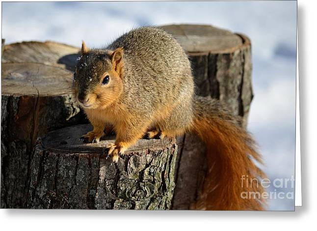 Fox Squirrel Greeting Cards - Squirrel Greeting Card by Charles Trinkle