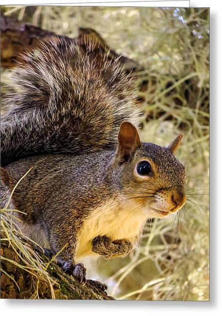 Sciurus Carolinensis Greeting Cards - Squirrel close					 Greeting Card by Zina Stromberg