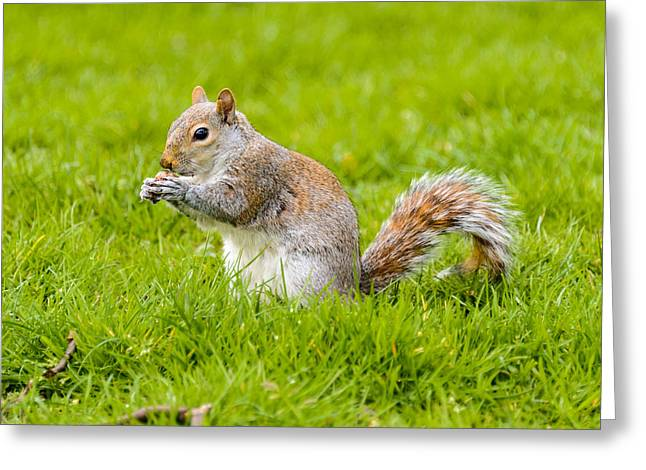 Gnawing Greeting Cards - Squirrel Greeting Card by Dutourdumonde Photography