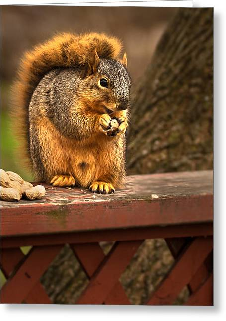 Sciurus Carolinensis Greeting Cards - Squirrel Eating a Peanut Greeting Card by  Onyonet  Photo Studios