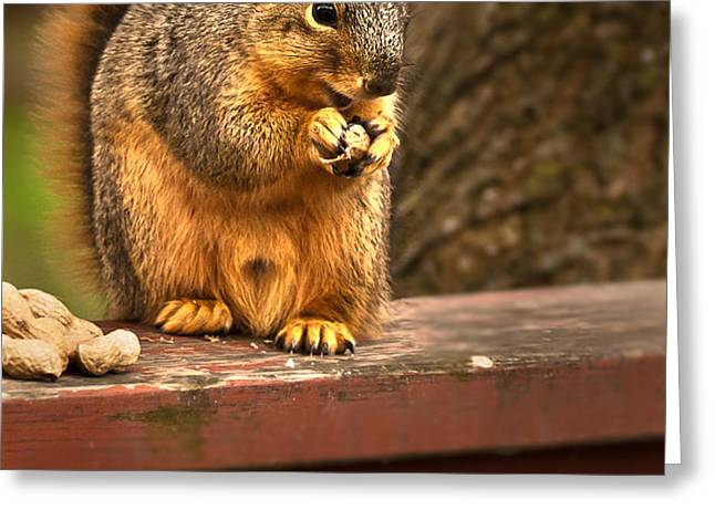 Squirrel Eating a Peanut Greeting Card by  onyonet  photo studios