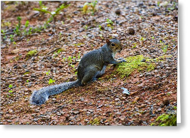 Squirrel Digital Greeting Cards - Squirrel Eating Moss Greeting Card by Chris Flees