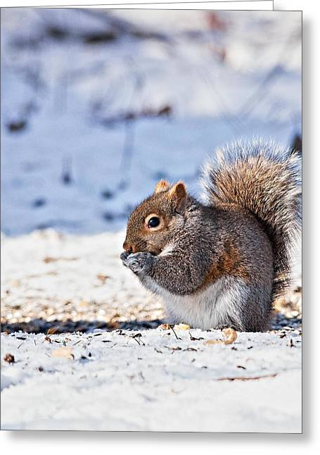 Sciurus Carolinensis Greeting Cards - Squirrel foraging in the snow Greeting Card by Bob Arens