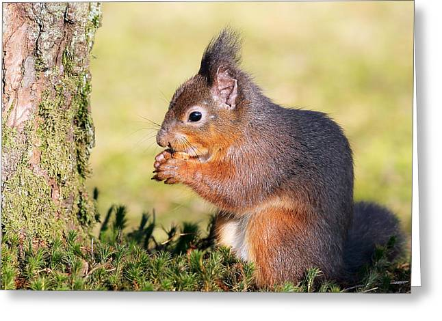 Bushy Tail Greeting Cards - Squirrel Greeting Card by Grant Glendinning