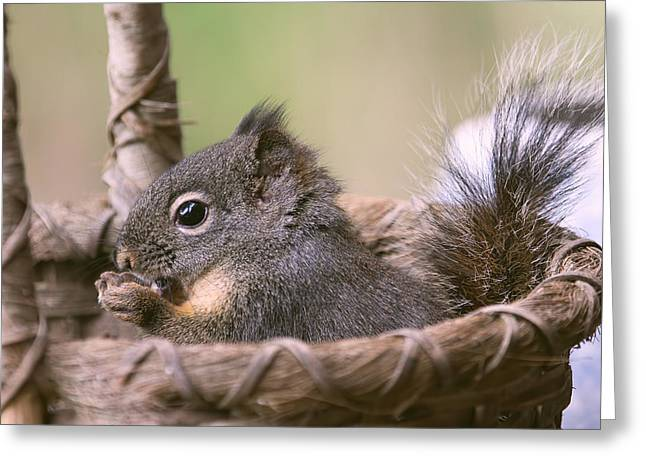 Comfort Zone Greeting Cards - Squirrel in His Comfort Zone Greeting Card by Peggy Collins