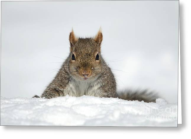 Sciurus Carolinensis Greeting Cards - Squirrel in the Snow 158 Greeting Card by Christina Williams