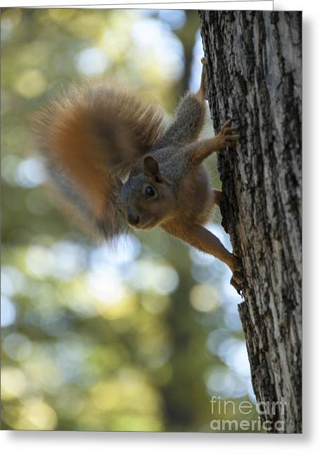 Vertical Composition Greeting Cards - Squirrel Greeting Card by Juli Scalzi