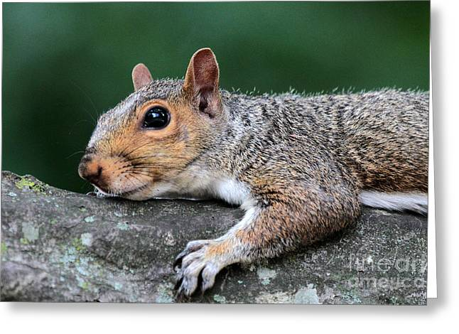 Eastern Fox Squirrel Greeting Cards - Squirrel laying down Greeting Card by Dwight Cook