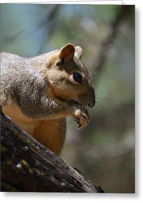Feisty Greeting Cards - Squirrel Greeting Card by Neva Cruddas