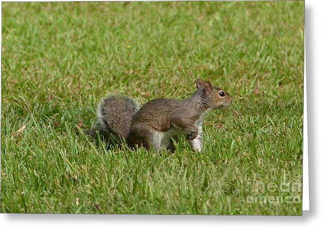 Fox Squirrel Greeting Cards - Squirrel On Point Greeting Card by Bob Sample