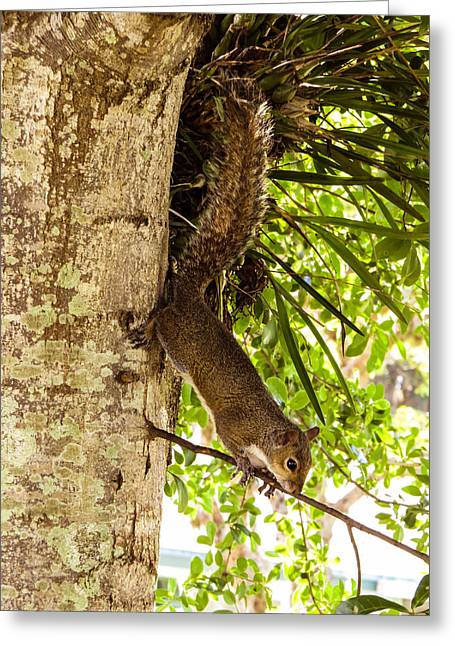 Sciurus Carolinensis Greeting Cards - Squirrel on the twig					 Greeting Card by Zina Stromberg