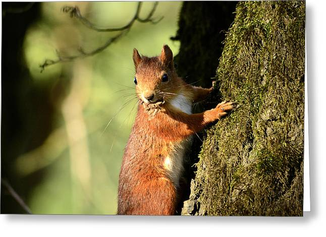 Cute Mixed Media Greeting Cards - Squirrel on tree  posing Greeting Card by Toppart Sweden