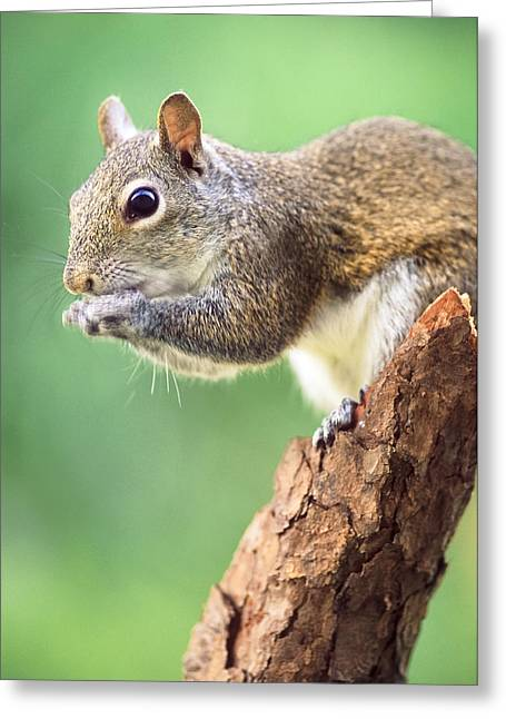 Sciurus Carolinensis Greeting Cards - Squirrel Greeting Card by Patrick M Lynch