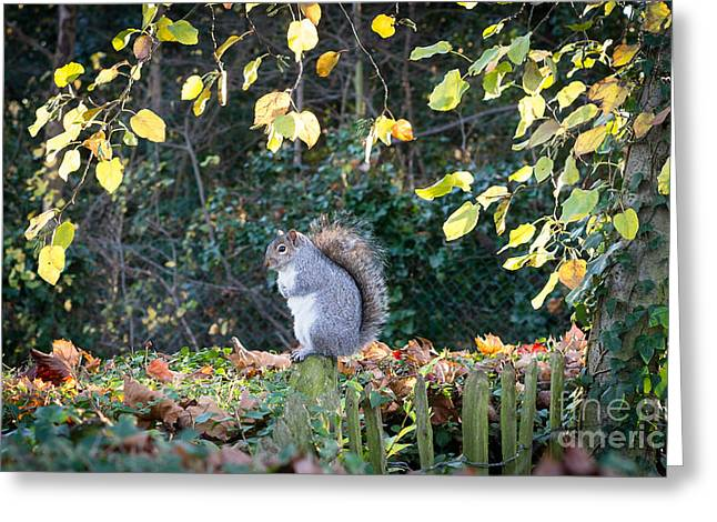Wimbledon Greeting Cards - Squirrel Perched Greeting Card by Matt Malloy