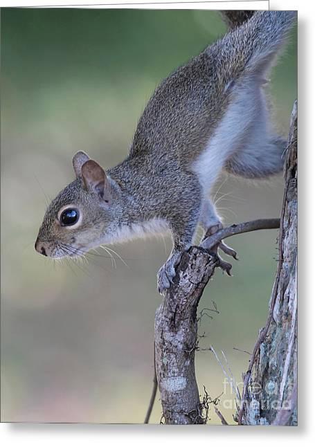 Squirrel Pose Greeting Card by Deborah Benoit