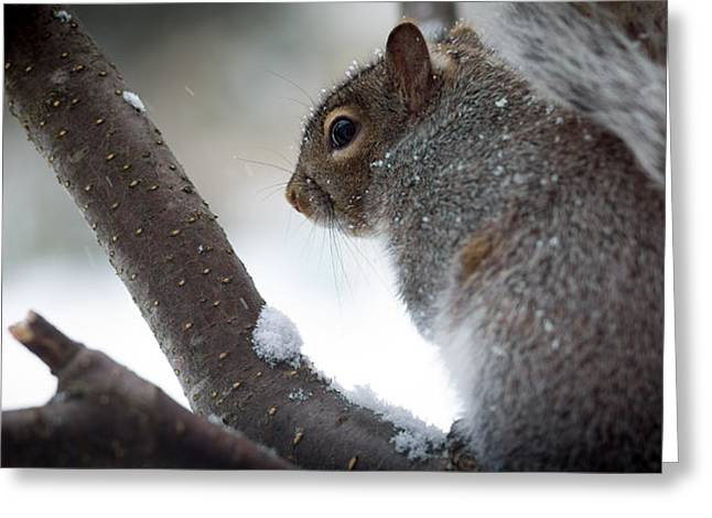 Squirrels Greeting Cards - Squirrel Greeting Card by Shane Holsclaw