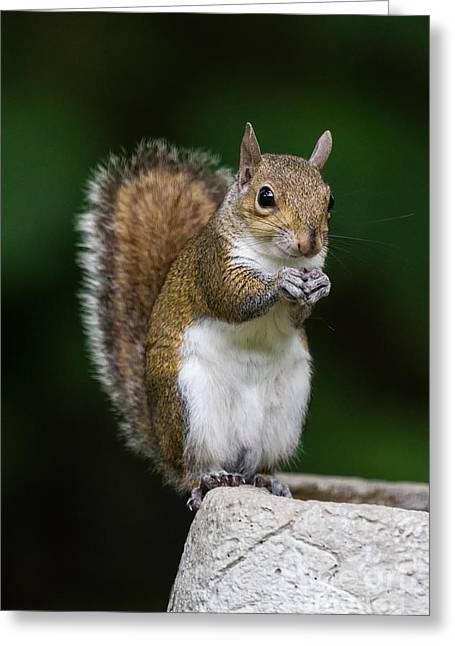 Sciurus Carolinensis Greeting Cards - Squirrel Smile Fernandina Beach Florida Greeting Card by Dawna  Moore Photography