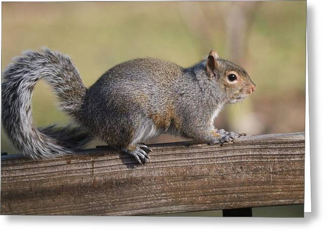 Gray Squirrel Greeting Cards - Squirrel Walking On Fence Greeting Card by Dan Sproul