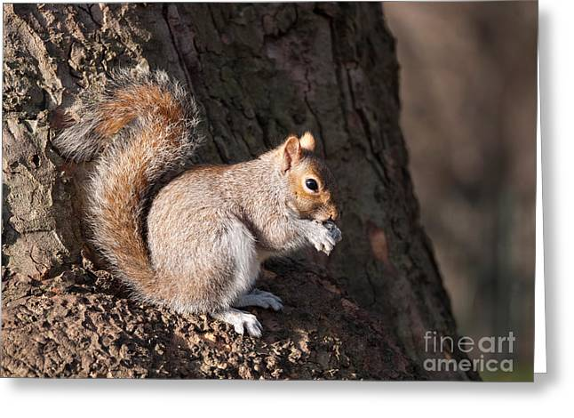 Sciurus Carolinensis Greeting Cards - Squirrel with nut  Greeting Card by Judith  Flacke