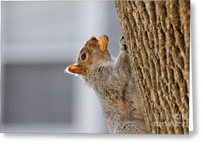 Sweet Success Greeting Cards - Squirrel with Peanut Greeting Card by Jannis Werner