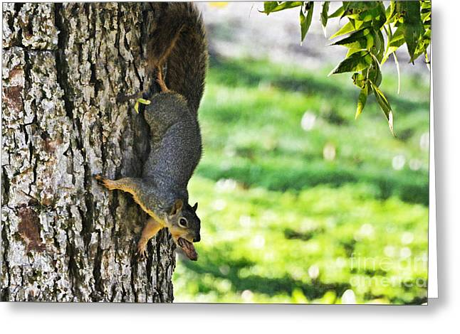 Debbie Portwood Greeting Cards - Squirrel with pecan Greeting Card by Debbie Portwood