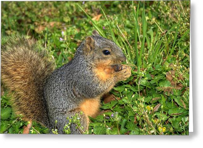 Fox Squirrel Greeting Cards - Squirrels Lunch Time Greeting Card by Ester  Rogers