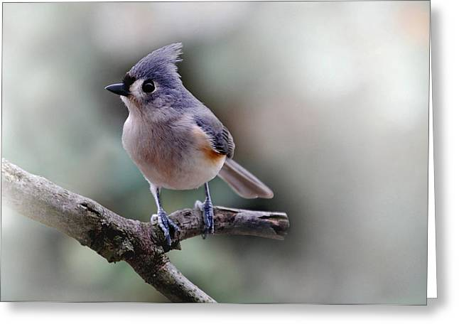 SRING TIME TITMOUSE Greeting Card by Skip Willits