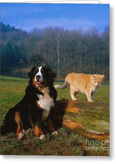Working Dog Greeting Cards - St. Bernard And Domestic Cat Greeting Card by Tierbild Okapia