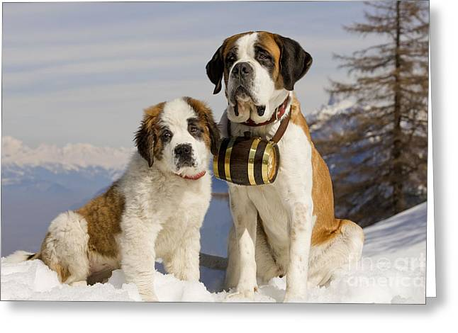 Working Dog Greeting Cards - St Bernard And Puppy Greeting Card by Jean-Michel Labat