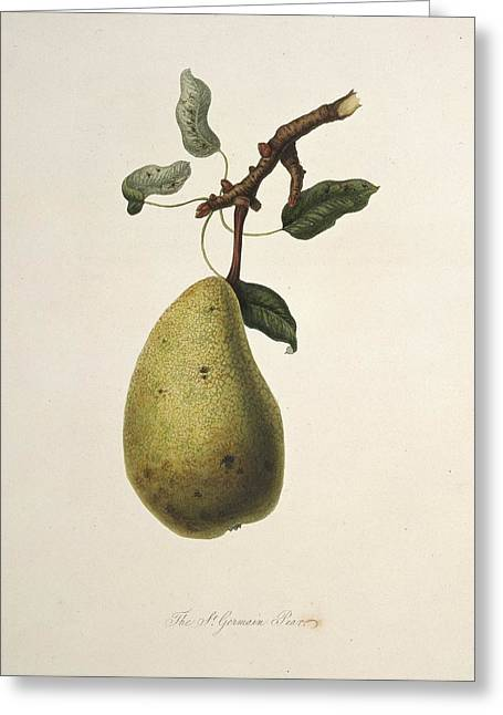 One Pear Greeting Cards - St Germain Pear (1818) Greeting Card by Science Photo Library