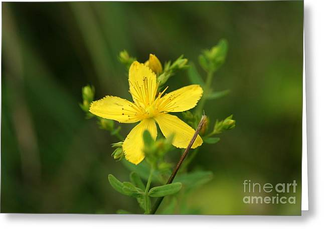 Flower Photograph Greeting Cards - St Johns Wort Greeting Card by Neal  Eslinger